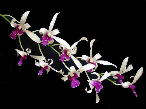 Très belles orchidées6